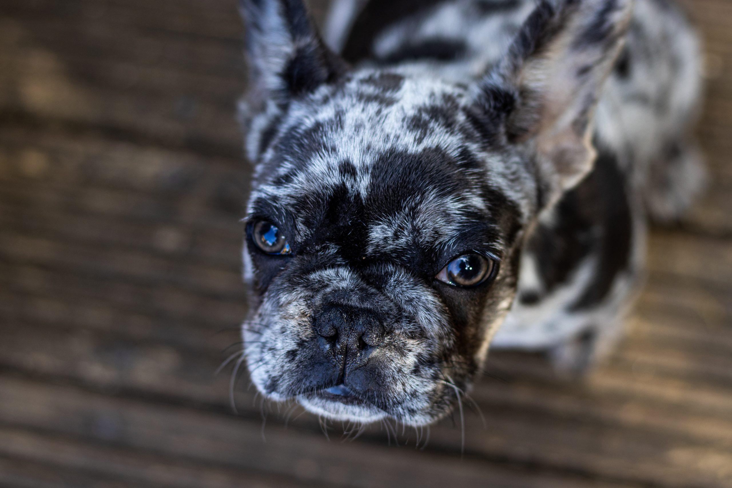 price for french bulldogs