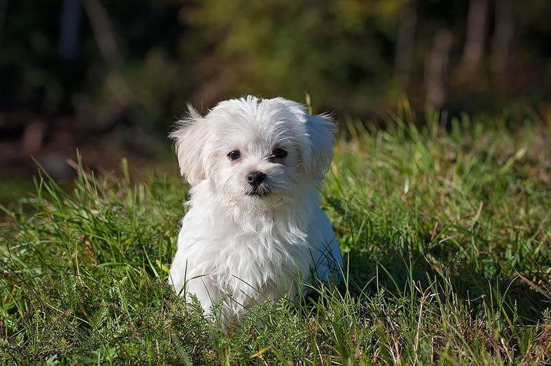 maltese dog price
