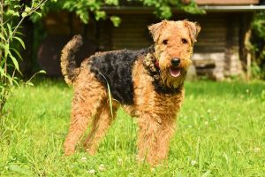 Airedale Terrier Price