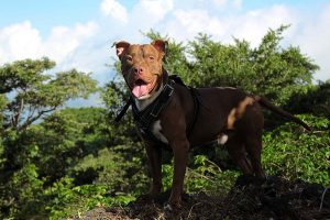 American Pit Bull Terrier Price
