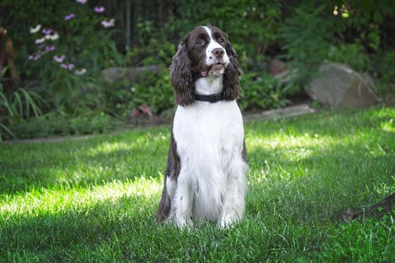 English springer spaniel price