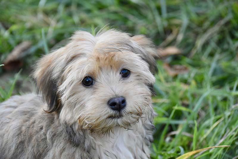 Havanese Dog Price