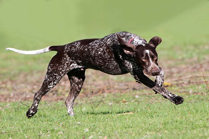 How much does a german shorthaired pointer cost