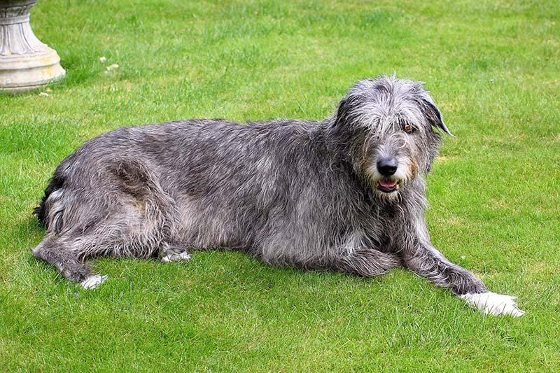 Irish Wolfhound Price