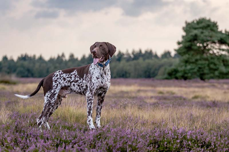 german shorthaired pointer cost