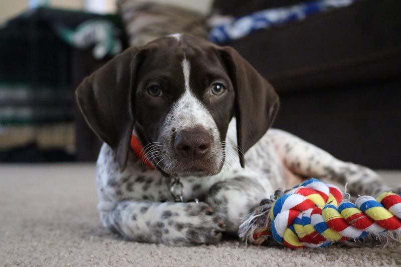 german shorthaired pointer puppies price