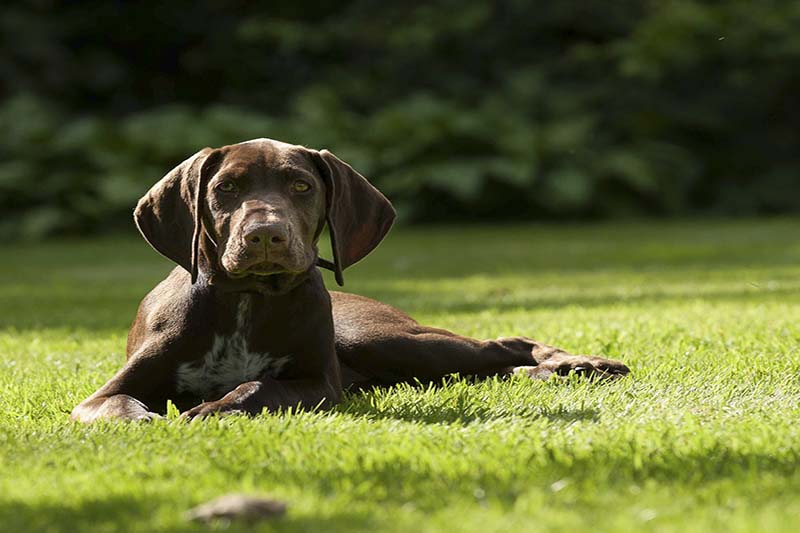 how much do german shorthaired pointers cost