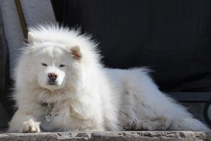 how much do samoyeds cost