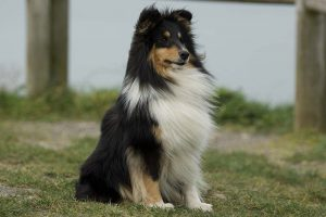 how much does a sheltie cost