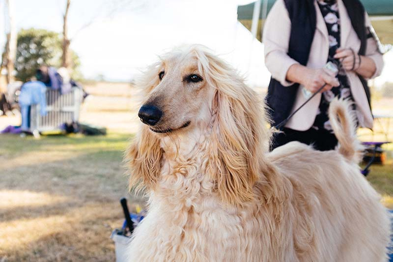 how much is an afghan hound