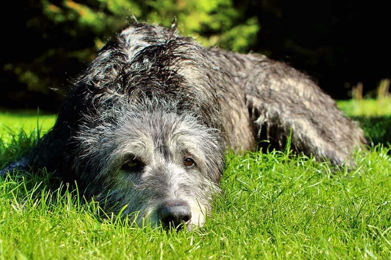 irish wolfhound puppies price