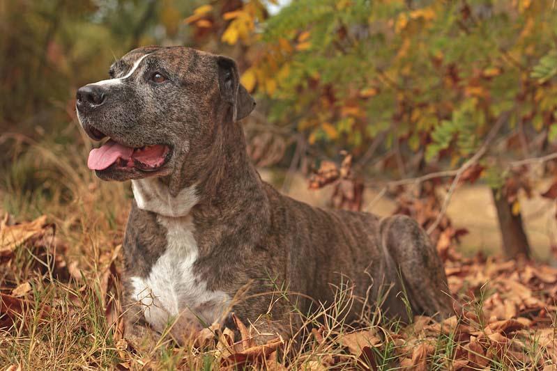 price of pitbull puppy
