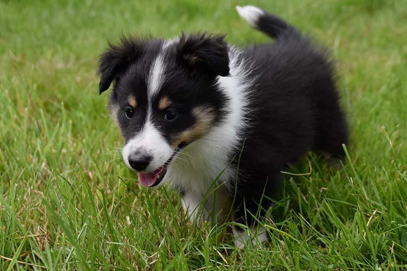 shetland sheepdog cost