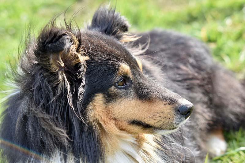 shetland sheepdog prices