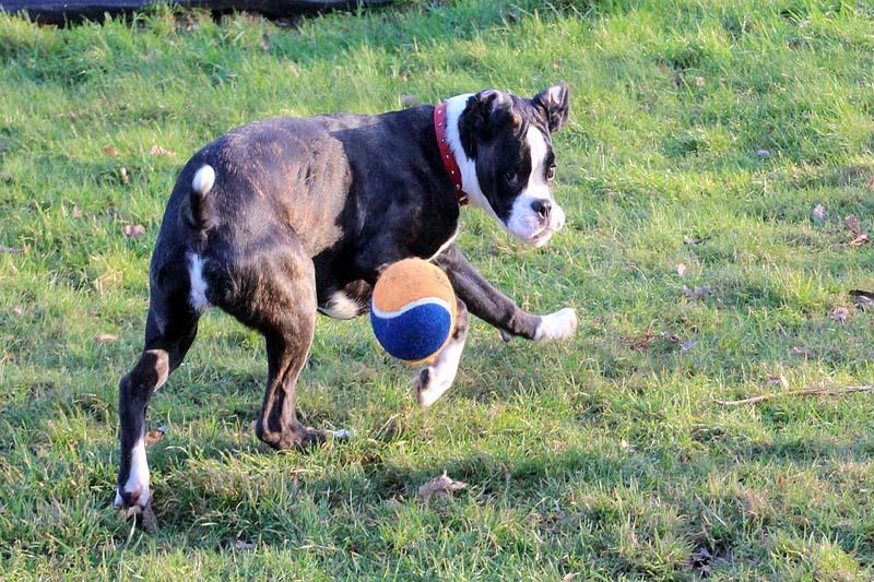 boxer dog price in sri lanka