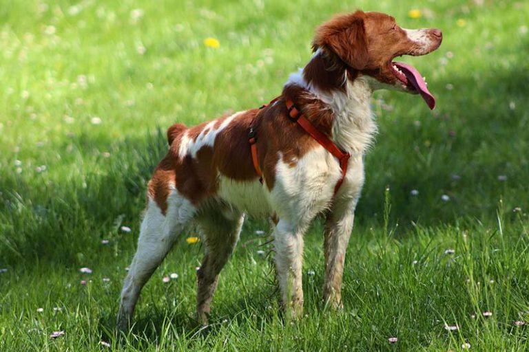 brittany dog price