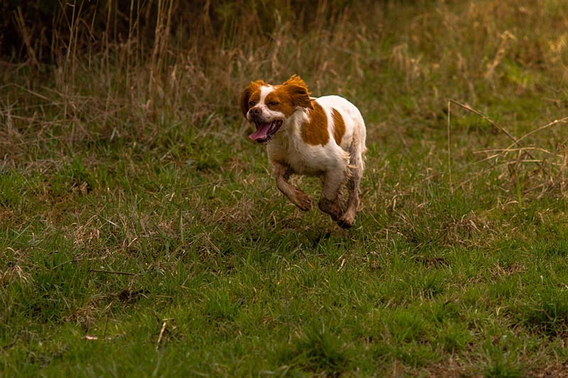 brittany spaniel cost