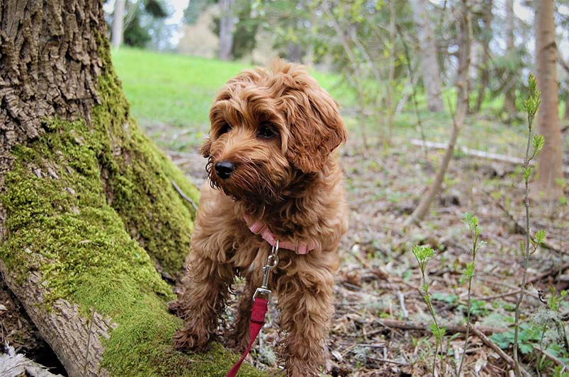 cost of a labradoodle
