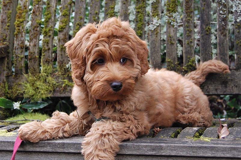 how much does a labradoodle cost