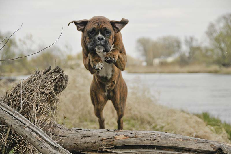 how much is a boxer puppy