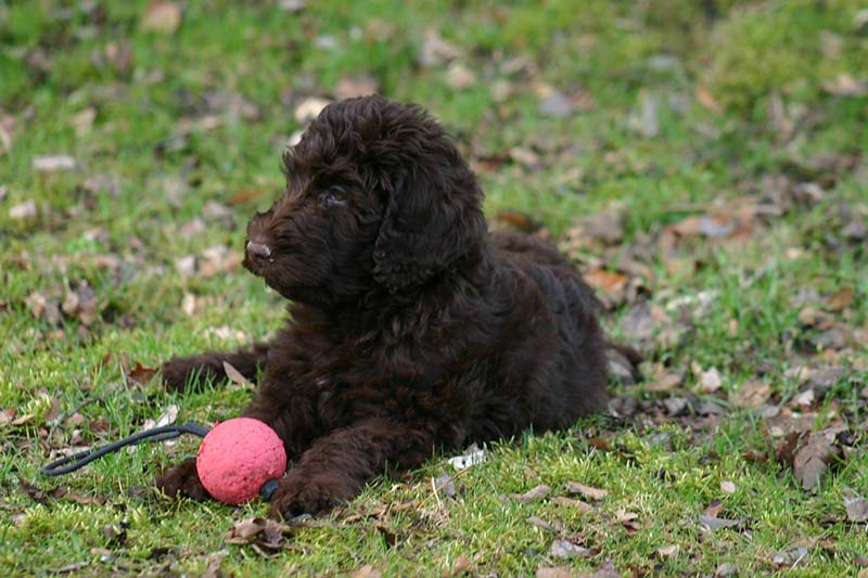how much is a labradoodle puppy