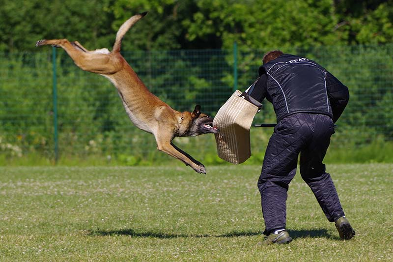 belgian malinois puppy for sale
