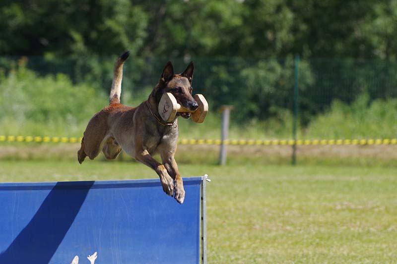 belgian malinois puppy price