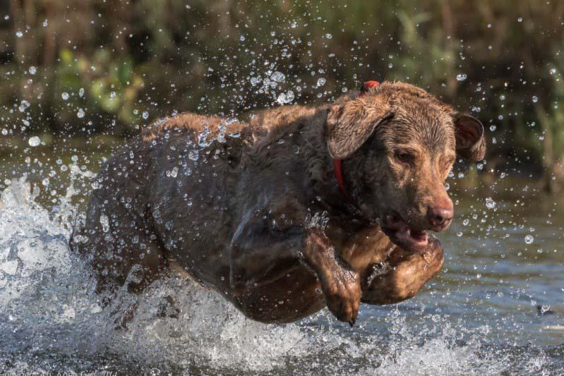 chesapeake bay retriever dogs for sale