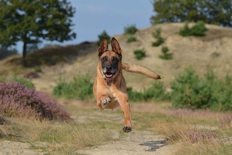 how much are belgian malinois