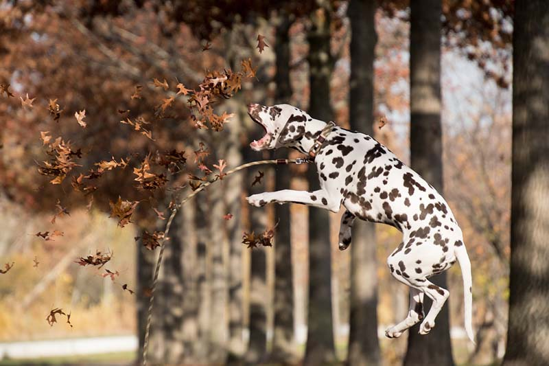how much are dalmatians puppies