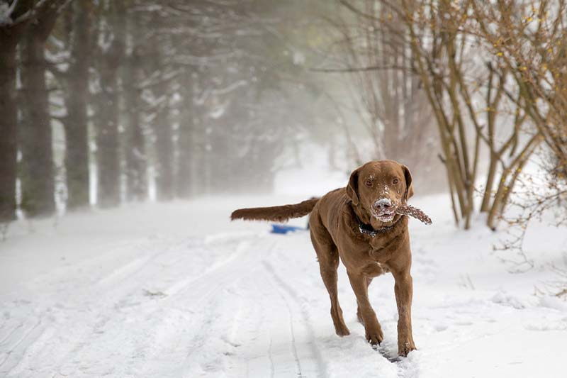 how much does a chesapeake bay retriever cost
