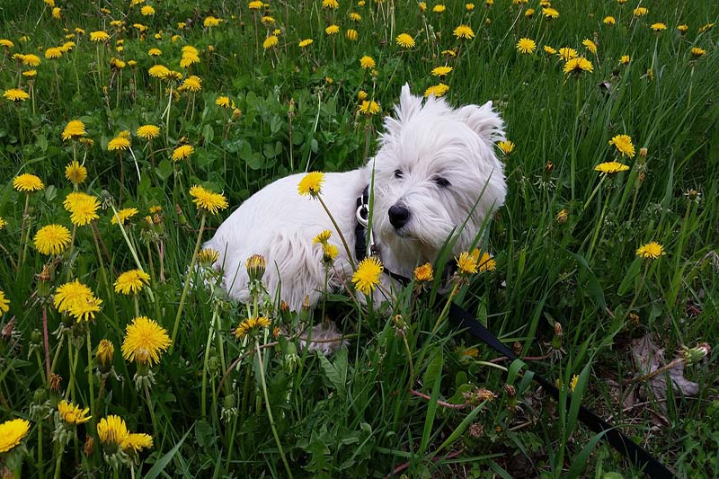 how much does a westie cost