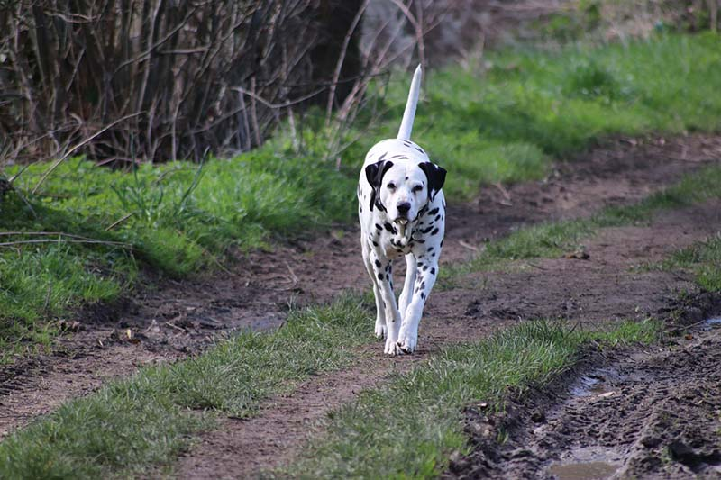 how much is a dalmatian