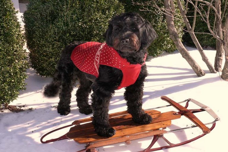 portuguese water dog costs