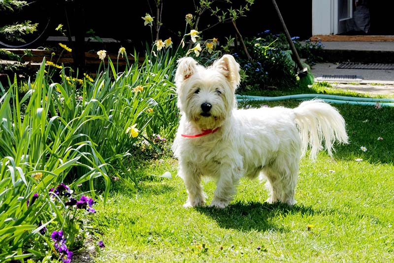 price of a west highland white terrier