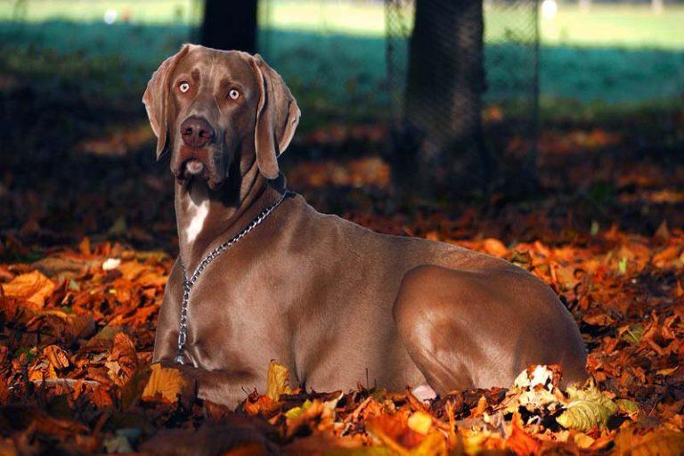 weimaraner dog prices