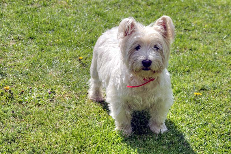 west highland terrier prices