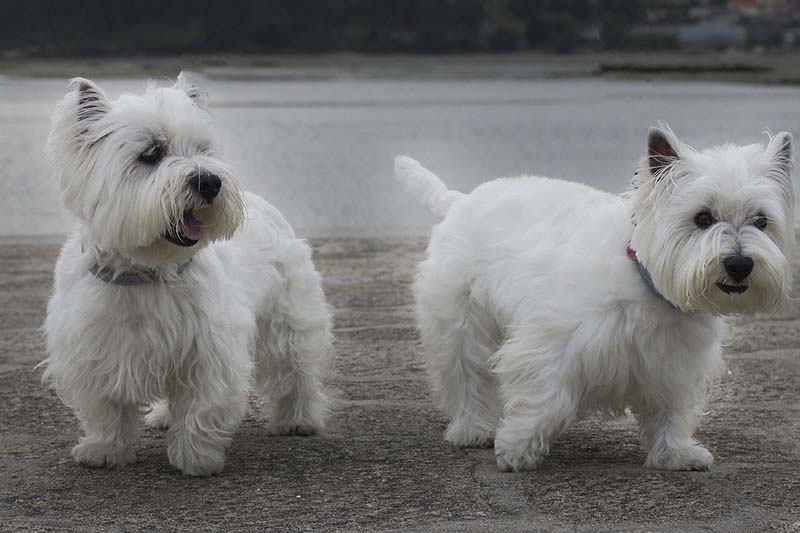 west highland white terrier cost