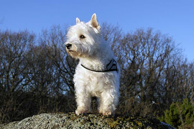 west highland white terrier pricing